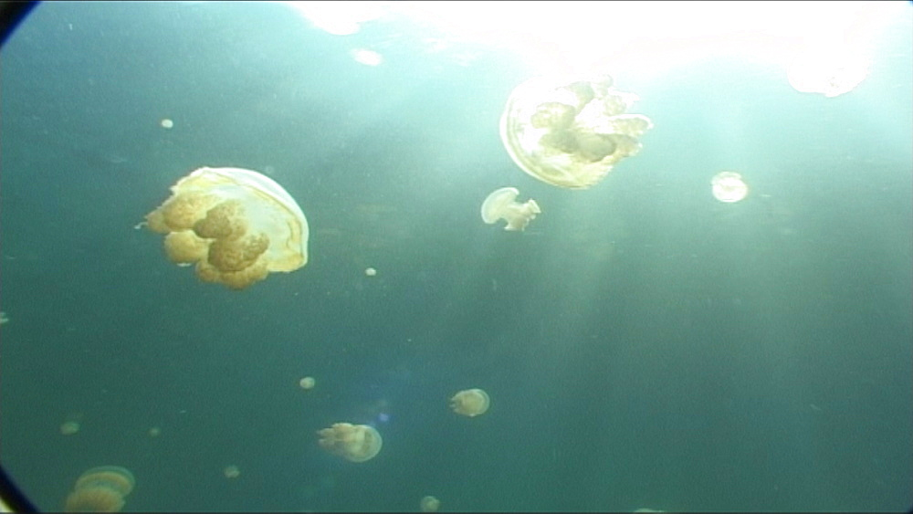 Jellyfish, Matgias sp.  pan up through them to surface.   Jellyfish lake, Palau, Western Pacific - 981-349