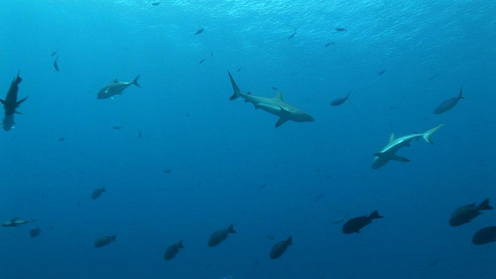 Two Jackfish mobbing Gray reef shark (Carcharinus falciformis). Palau, Pacific - 981-91
