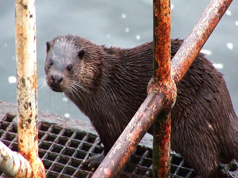 Otter (Lutra lutra). Tobermory. Mull. UK. 22/07/08 - 988-356