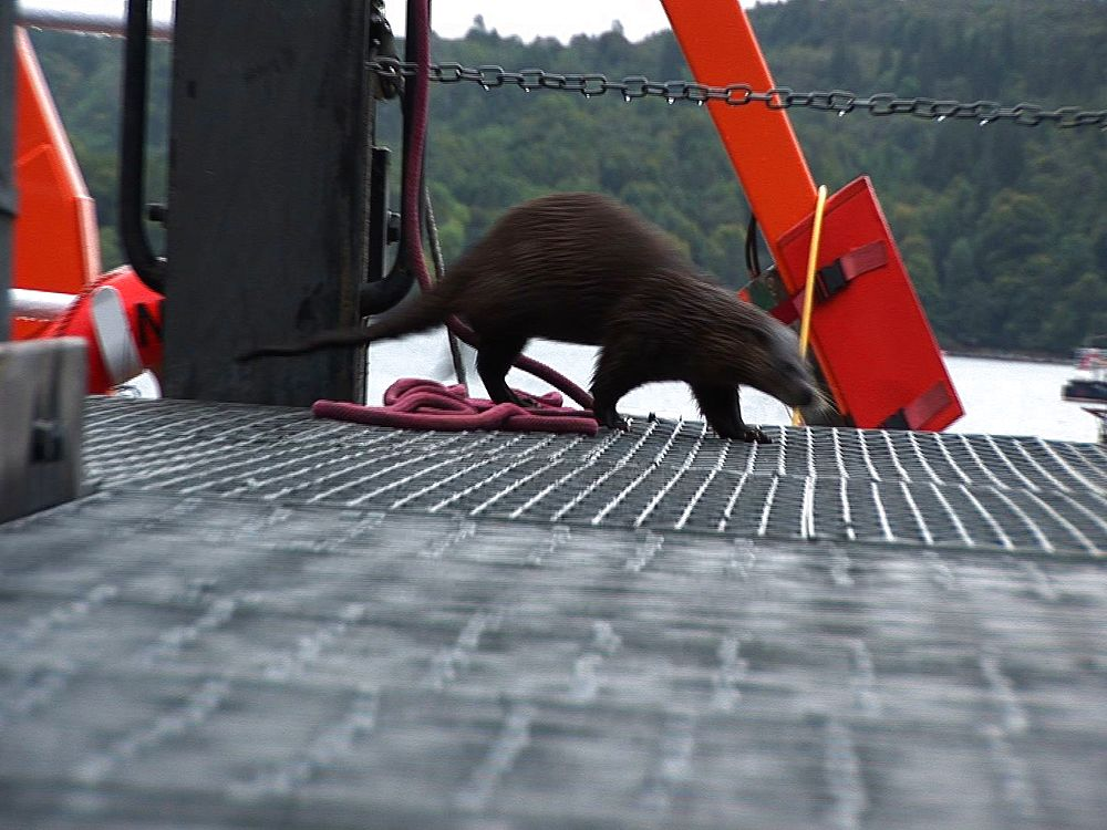 Otter (Lutra lutra). Tobermory. Mull. UK. 22/07/08 - 988-357