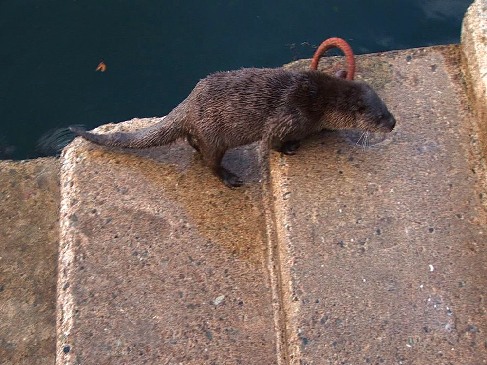 Otter (Lutra lutra) feeds at harbour steps. Tobermory. Mull. UK. 22/07/08 - 988-374
