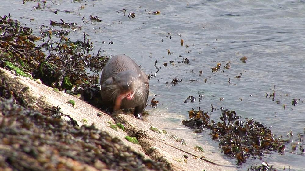 Eurasian otter (Lutra lutra). Foraging. Tobermory. Mull. Scotland - 988-399
