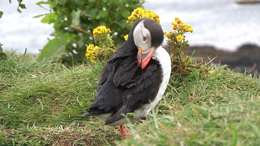 Puffin (Fratercula arctica) preens at burrow. Treshnish Isle, Mull. Scotland