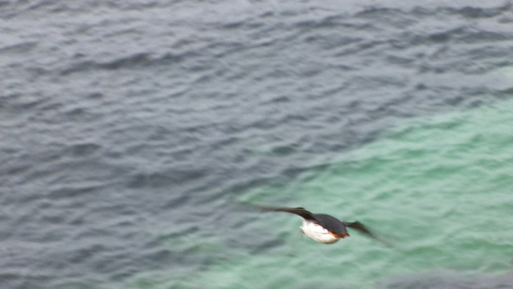 Puffins (Fratercula arctica) fly in from sea. Treshnish Isle, Mull. Scotland - 988-422