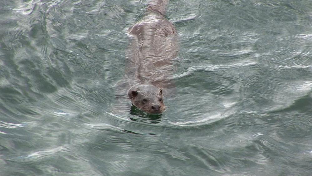 Eurasian otter (Lutra lutra). Swims. Tobermory. Mull. Scotland - 988-432