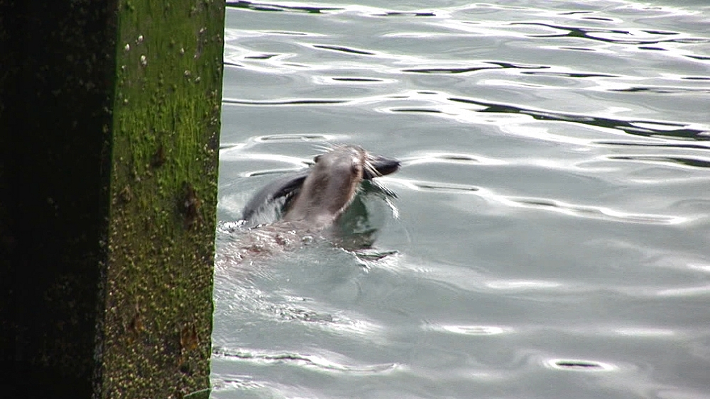 Eurasian otter (Lutra lutra). Swimming with large eel in mouth. Tobermory. Mull. Scotland - 988-439