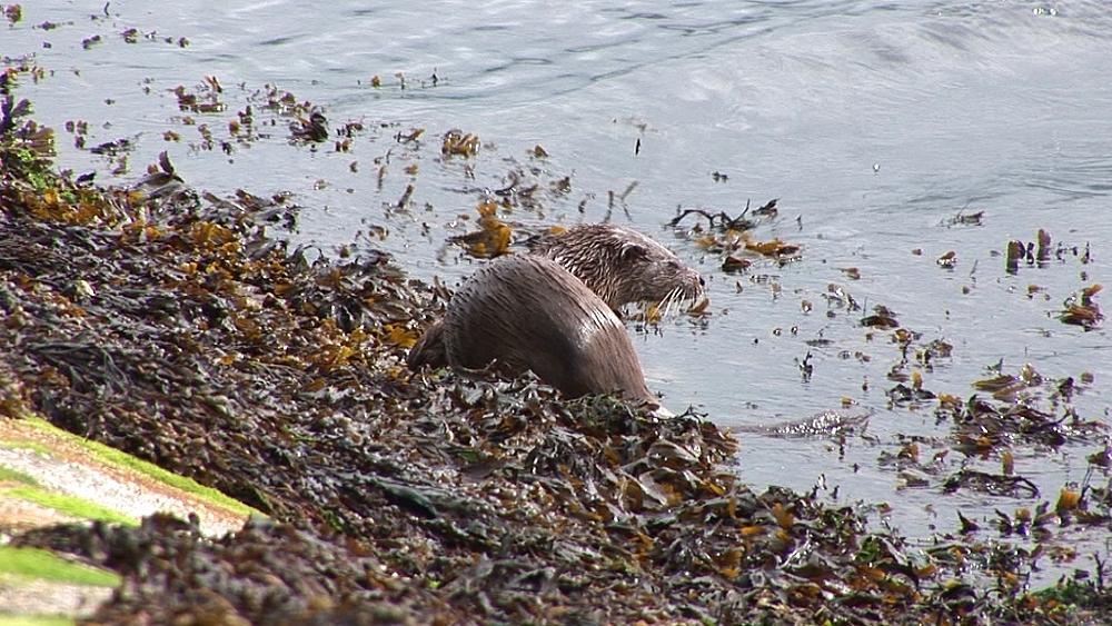 Eurasian otter (Lutra lutra). Foraging along shore. Tobermory. Mull. Scotland - 988-442