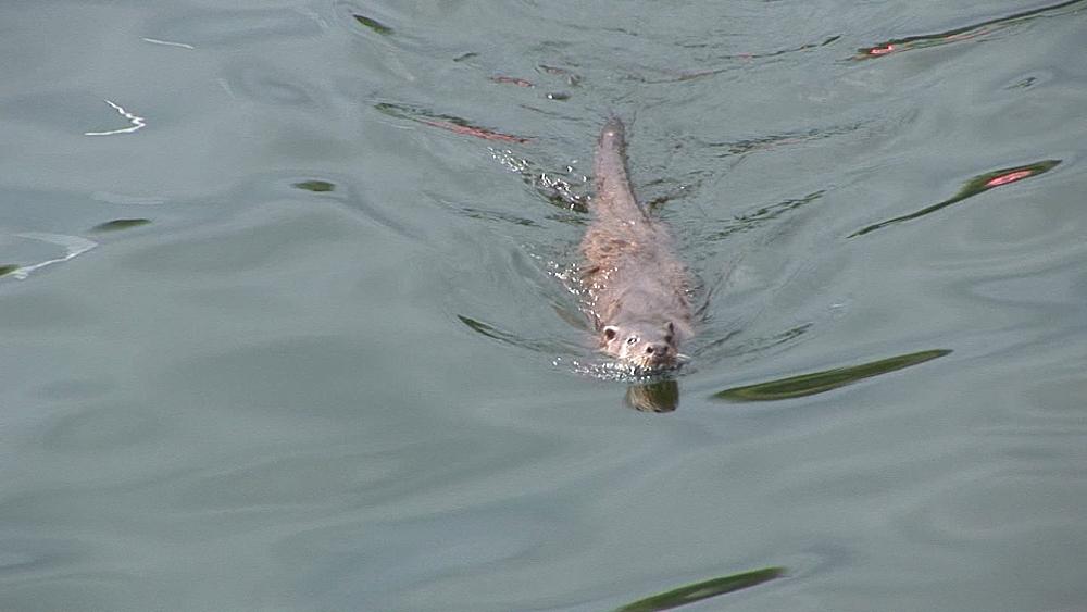 Eurasian otter (Lutra lutra). Swims. Tobermory. Mull. Scotland - 988-444