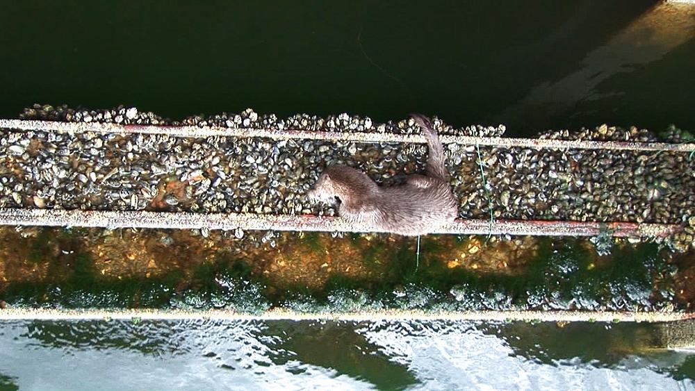 Eurasian otter (Lutra lutra). Feeding. Tobermory. Mull. Scotland - 988-449