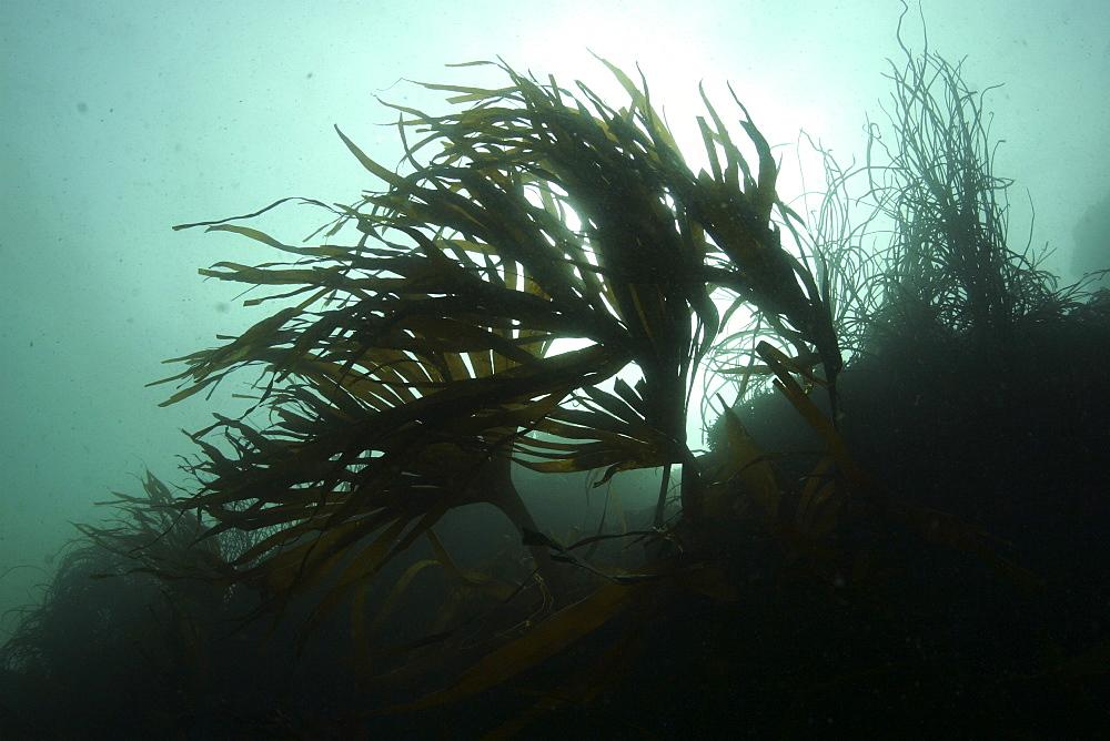 Kelp at L'Etac. Sark, British Isles