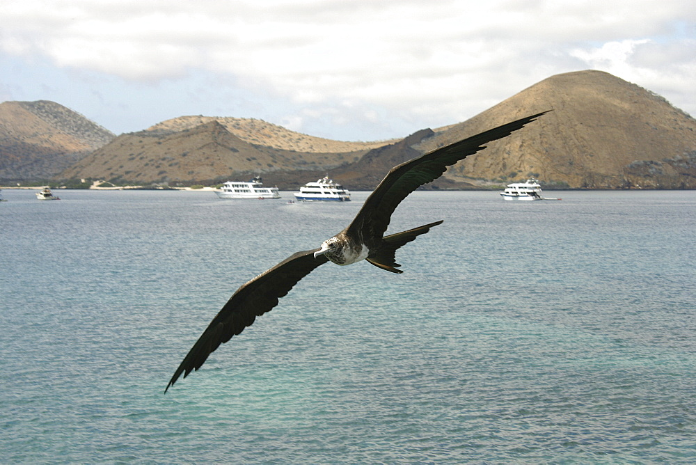Frigate in flight. Galapagos.