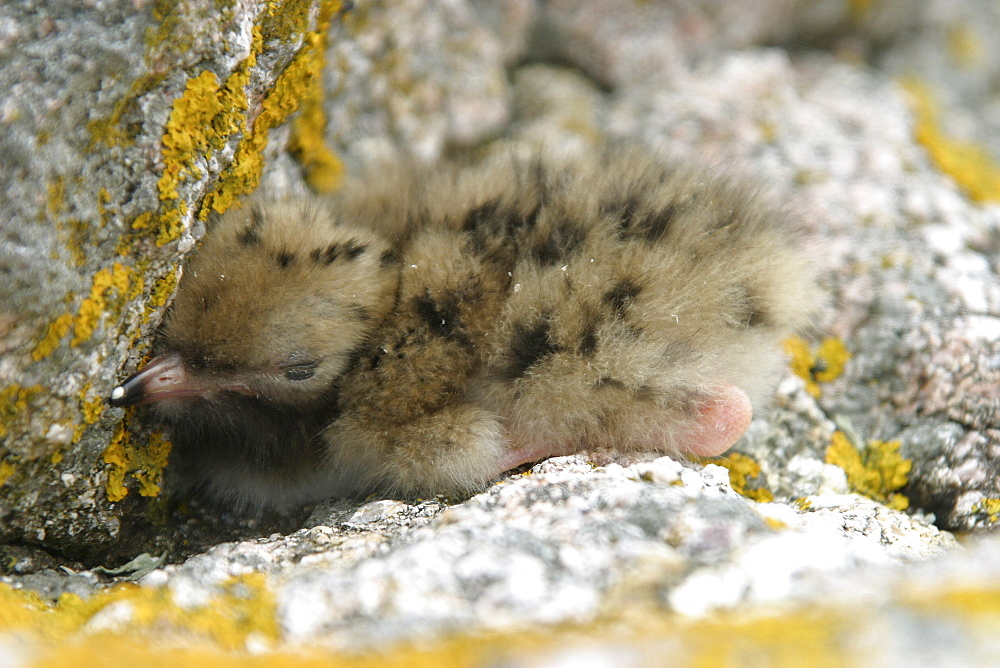 Common Tern chick (Sterna hirundo), Jersey, British Isles