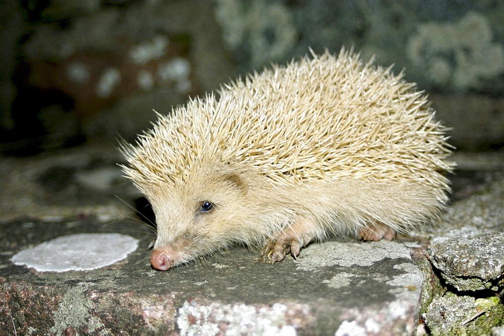 Blonde Hedgehog (Leucistic) (Erinaceus europaeus). Alderney, British Channel Island, UK