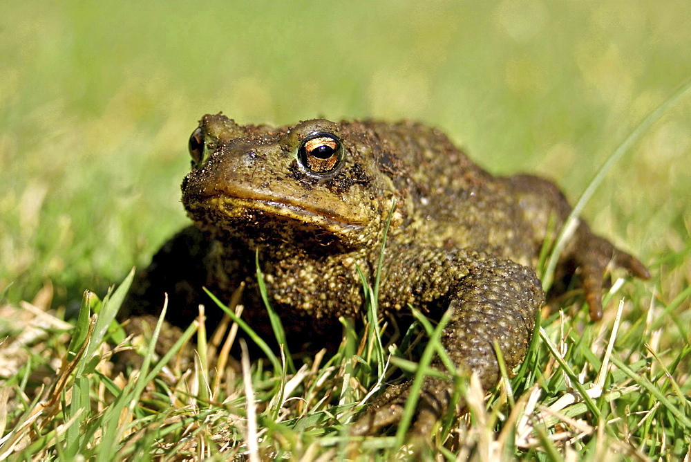 Common Toad (Bufo bufo). Jersey, British Channel Islands, UK