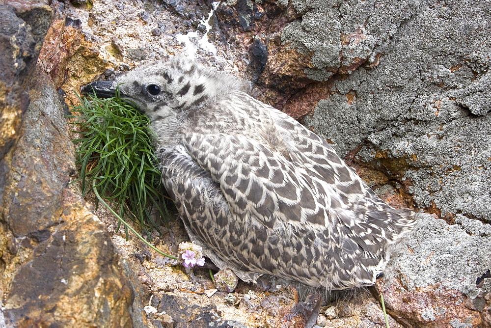 Herring Gull chick (Larus argentatus). Grande Moie, Sark, British Channel Islands