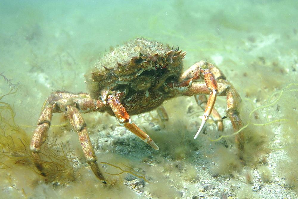 Spiny Spider crab. Maja squinado, Jersey, British Isles - 1004-53
