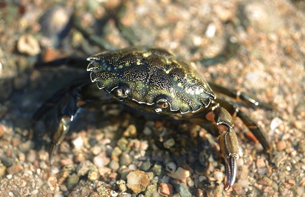 Shore Crab. (Carcinus maenas) Jersey, British Isles - 1004-54