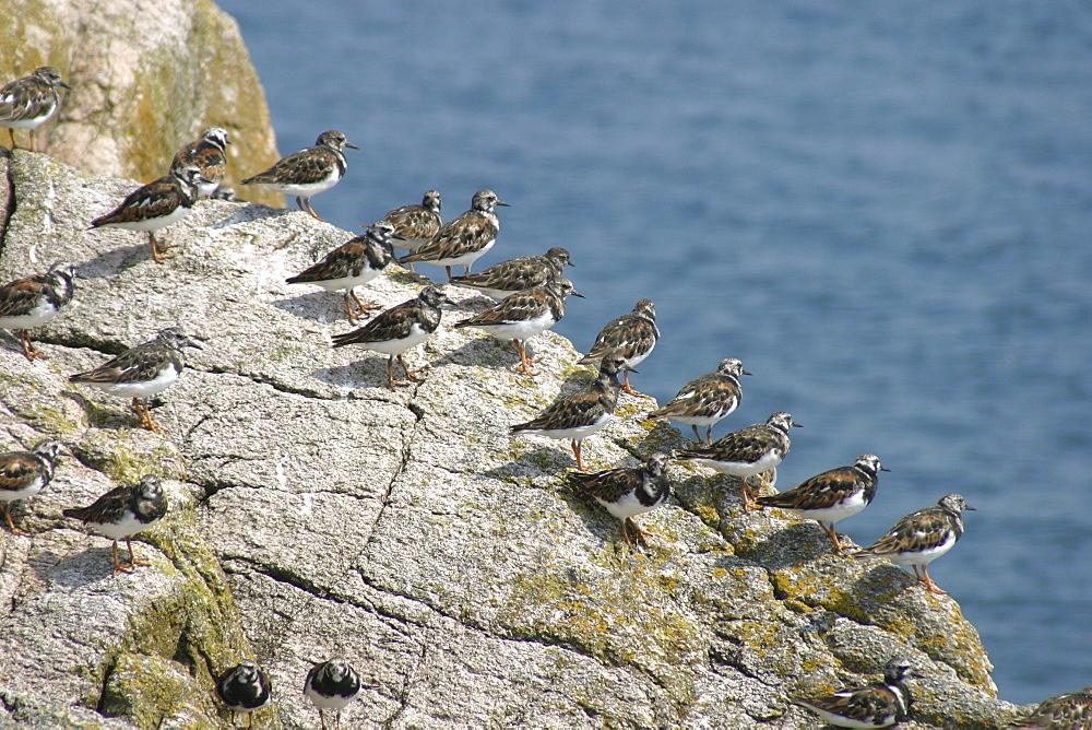 Turnstones on Les Ecrehous. Jersey, British Isles - 1004-557
