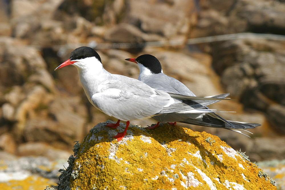 Common Terns (Sterna hirundo) Jersey, British Isles - 1004-558