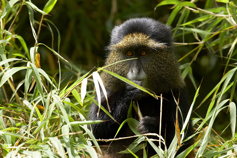 Golden Monkey (Cercopithecus mitis kandti) in the Virunga National Park, Rwanda - 1005-54