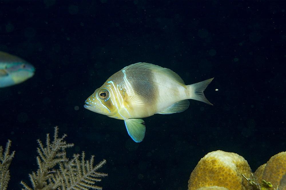 Hamlet fish, mating. Caymans. - 1022-23