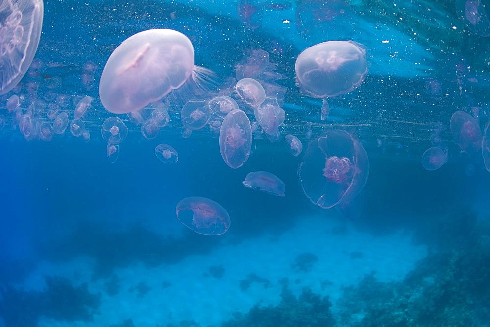 Jellyfish. Red Sea, Egypt. - 1022-27