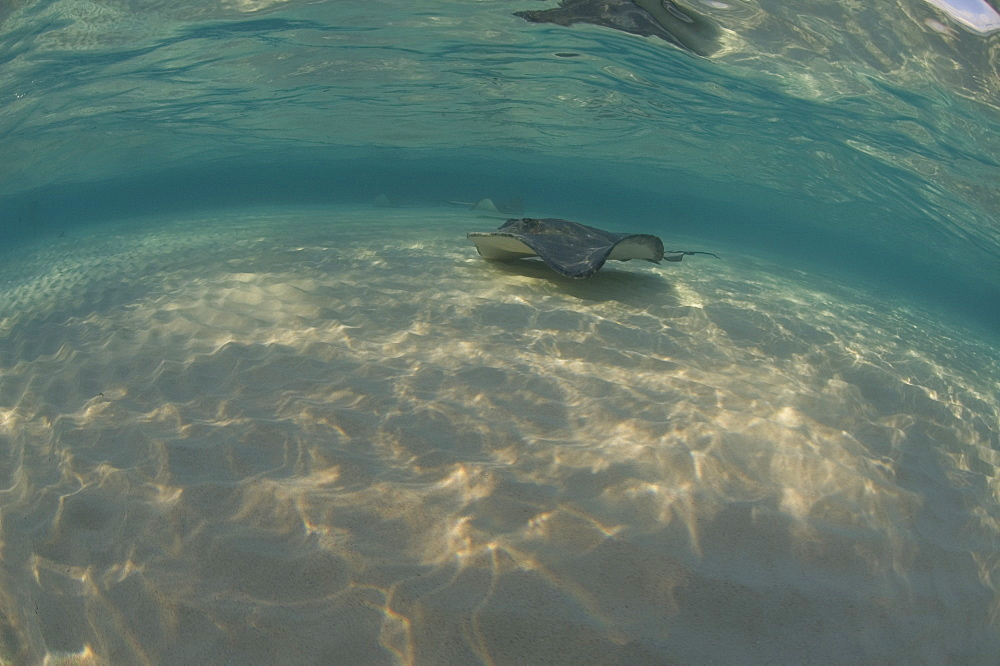 Sting Ray. Caymans.