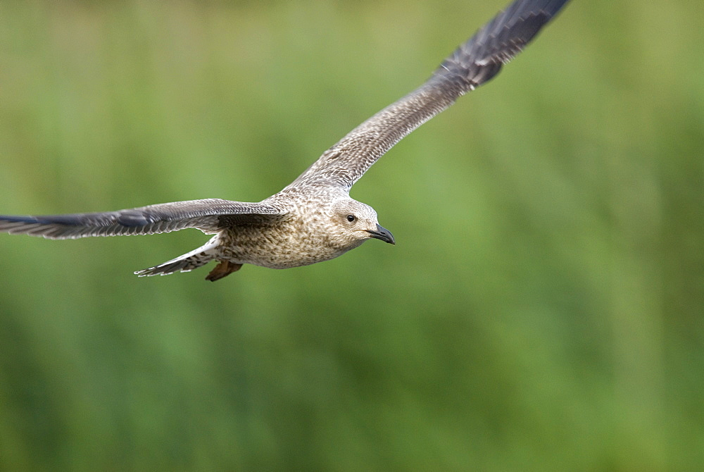Juvenile Great black-backed gull (Larus marinus) in flight, UK
