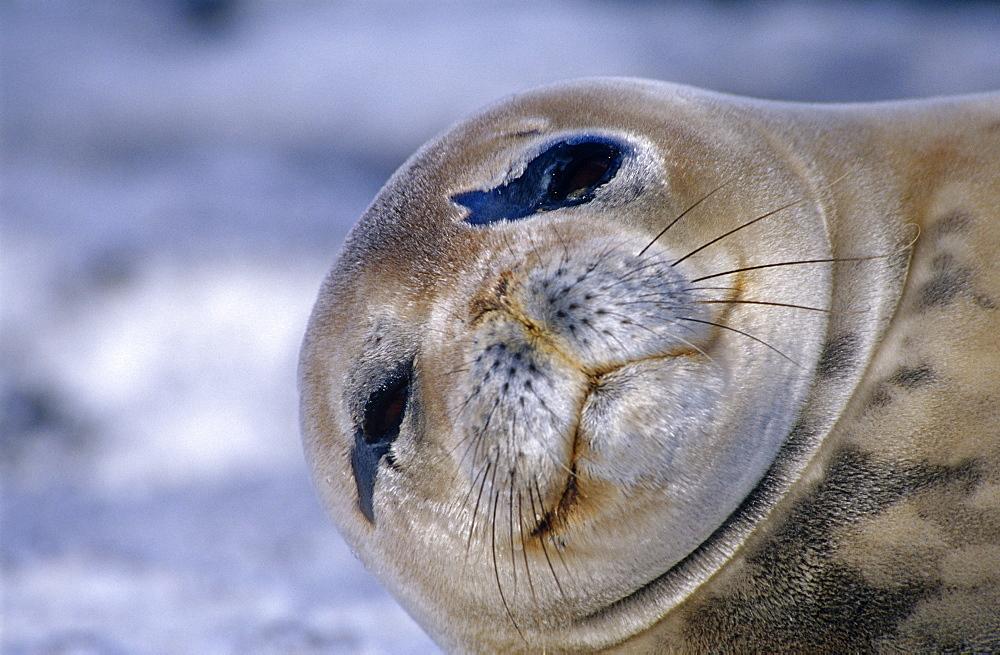 Weddell seal (Leptonychotes weddelli). Close up of head. Antarctic Peninsula, Southern Ocean.