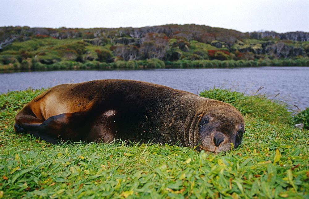 New Zealand fur seal (Arctochephalus forsteri) scratching. New Zealand.