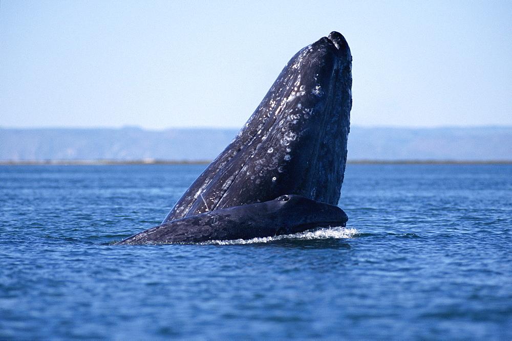 Grey whale (Eschrichtius robustus). Mother and calf. Baja, California - 1036-107