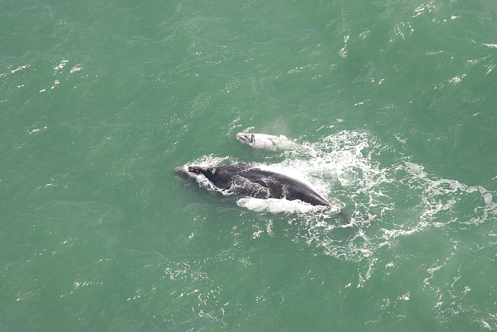Aerial of Southern Right Whale (Eubalaena australis). Cape Peninsular, South Africa - 1036-170