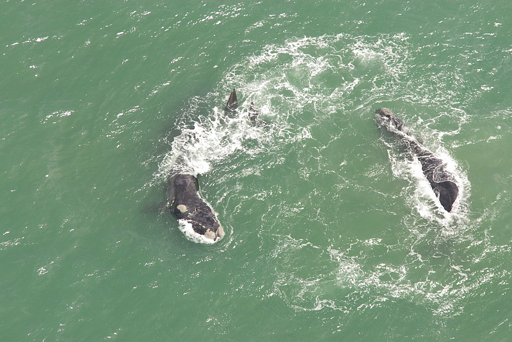 Aerial of Southern Right Whale (Eubalaena australis). Cape Peninsular, South Africa - 1036-171