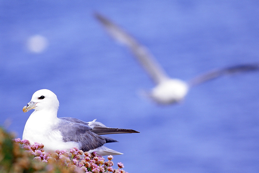 Fulmars and sea pinks.  Jan Mayen Island, Atlantic