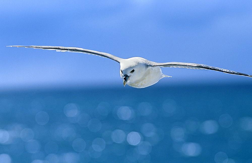 Fulmer (Fulmar glacialis) soaring. West of Iceland. - 1036-198