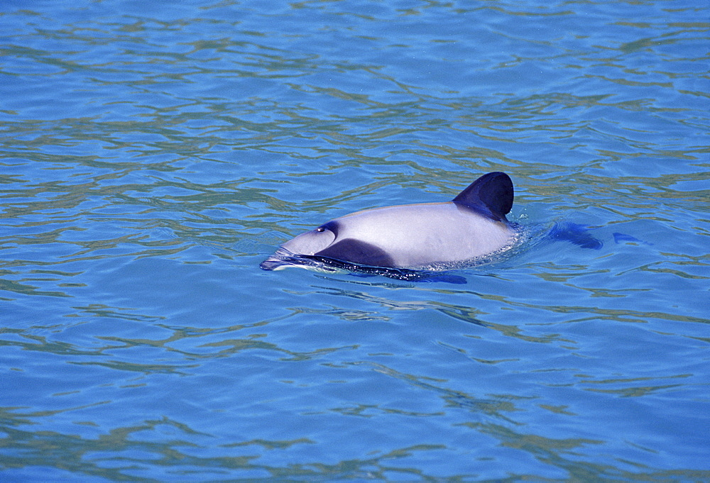 Hector's dolphin (Cephalorhynchus hectori) at the surface. New Zealand. - 1036-60