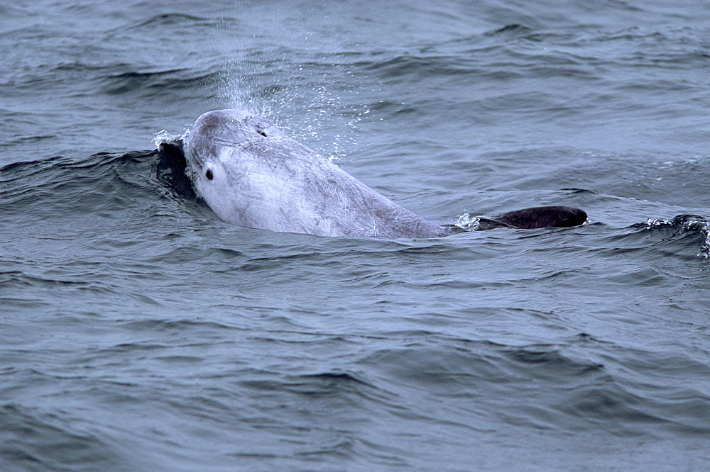 Risso's dolphin (Grampus griseus) with its eye and blow visible and characteristic scarring over its body. Hebrides, Scotland. - 1036-69