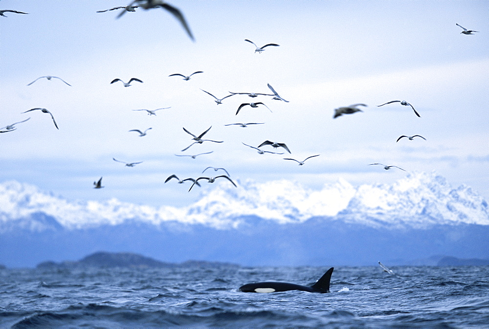 Killer whale (Orcinus orca) Feeding with gulls on herring. Snowy mountains behind. Mid-winter in Tysfjord, Norway