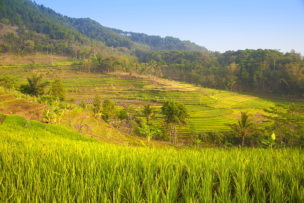 Rice paddies near Borobudur, Magelang, Java, Indonesia, Southeast Asia, Asia