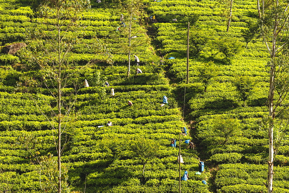 Tea Pluckers, Hatton, Central Province, Sri Lanka, Asia