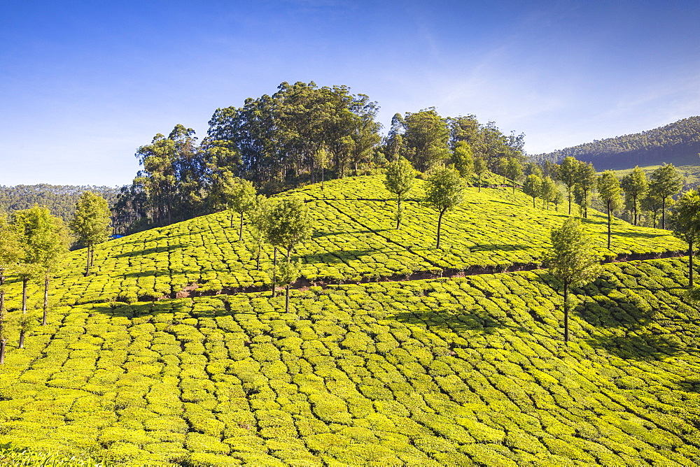 Tea estate, Munnar, Kerala, India, Asia