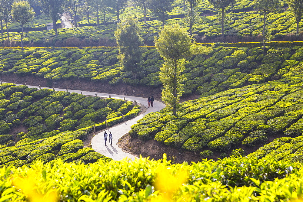 People walking along road in Tea estate, Munnar, Kerala, India, Asia