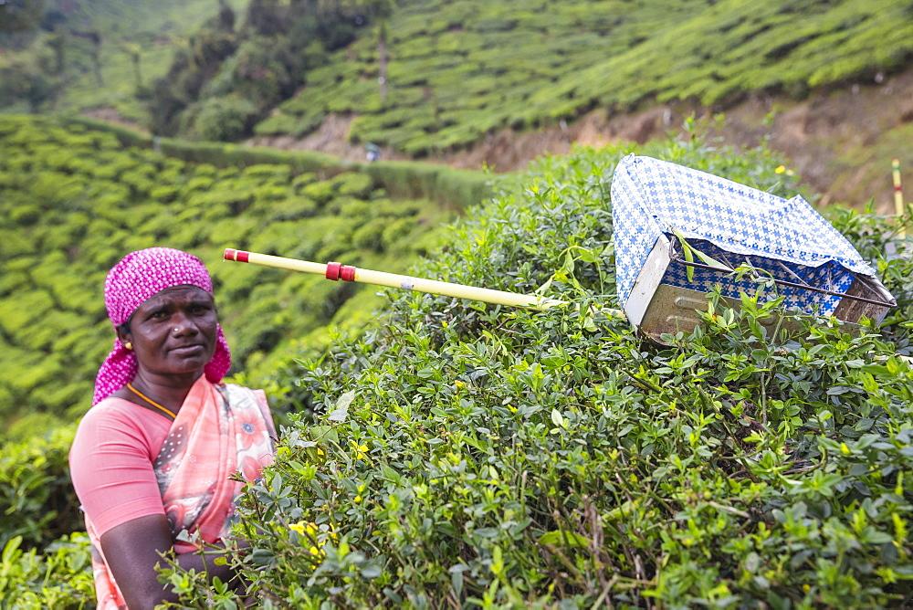 Tea picker at top station, Munnar, Kerala, India, Asia - 1104-1802