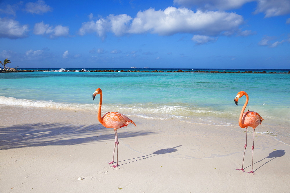 Flamingos on Flamingo beach, Renaissance Island, Oranjestad, Aruba, Lesser Antilles, Netherlands Antilles, Caribbean, Central America - 1104-595