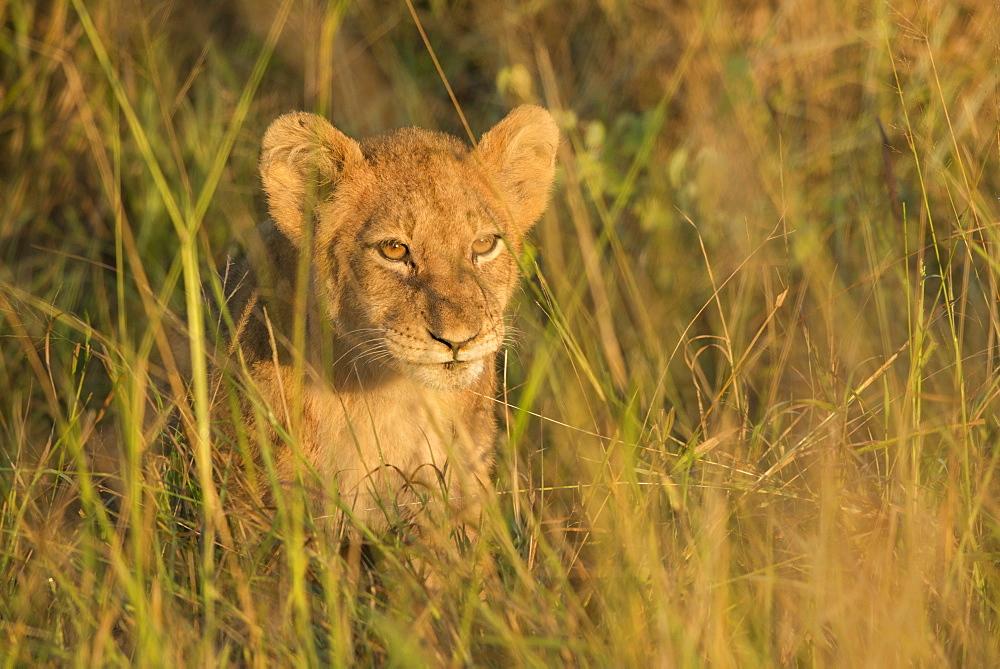Lion cub, Kruger National Park, South Africa, Africa - 1108-25