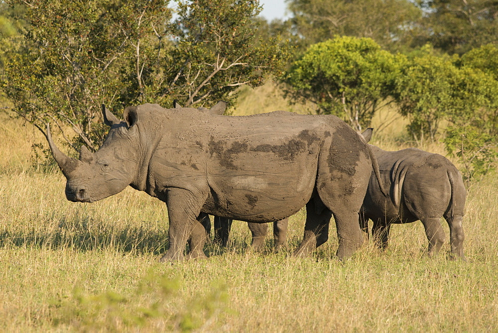 Mother and young white rhino, Kruger National Park, South Africa, Africa - 1108-27
