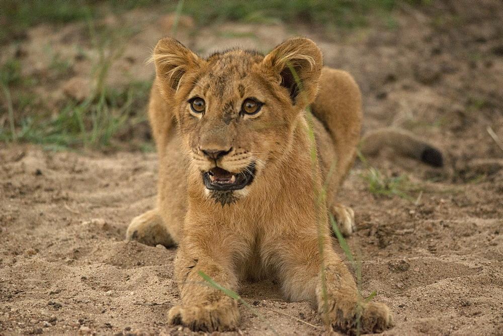 Lion cub, Kruger National Park, South Africa, Africa - 1108-28
