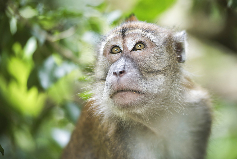 Portrait of a Long Tailed Macaque (Macaca Fascicularis) in the jungle at Bukit Lawang, Gunung Leuser National Park, North Sumatra, Indonesia, Southeast Asia, Asia