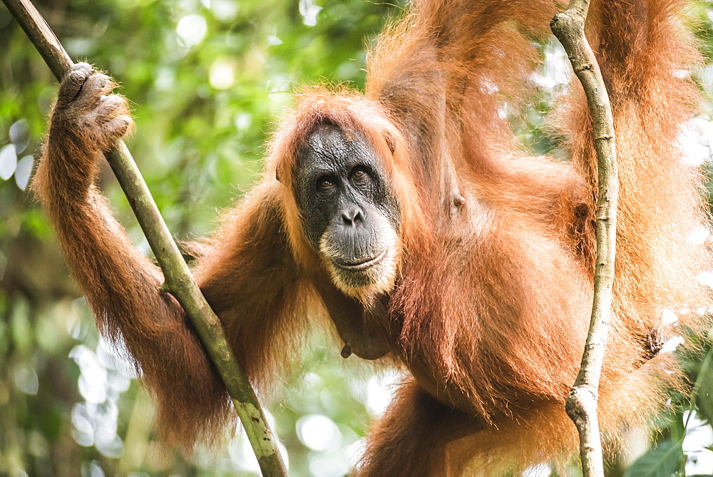 Female Orangutan (Pongo Abelii) in the jungle near Bukit Lawang, Gunung Leuser National Park, North Sumatra, Indonesia, Southeast Asia, Asia