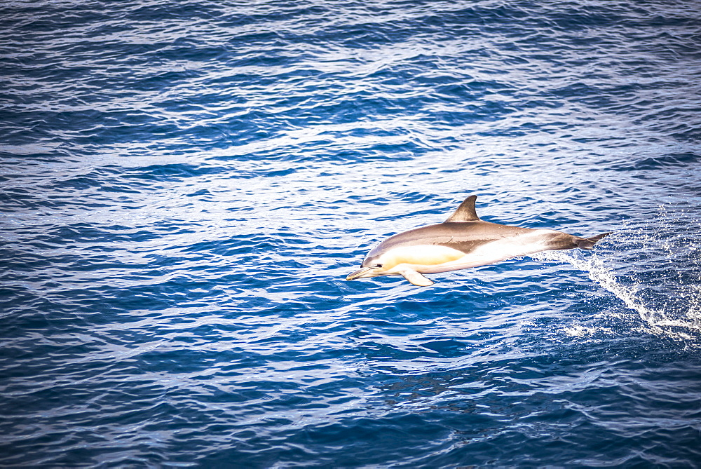 Dolphins seen near Whakatane and Tauranga in the Bay of Plenty, North Island, New Zealand, Pacific